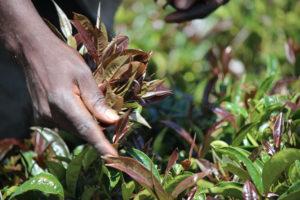 plucking purple tea leaves