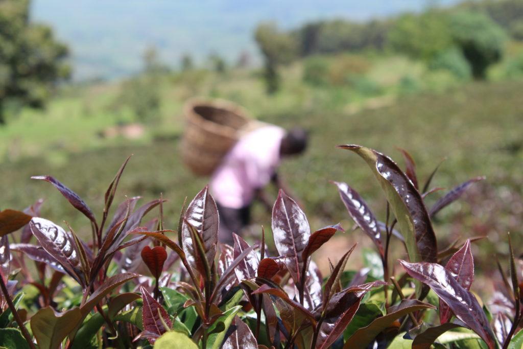 in purple tea plantation