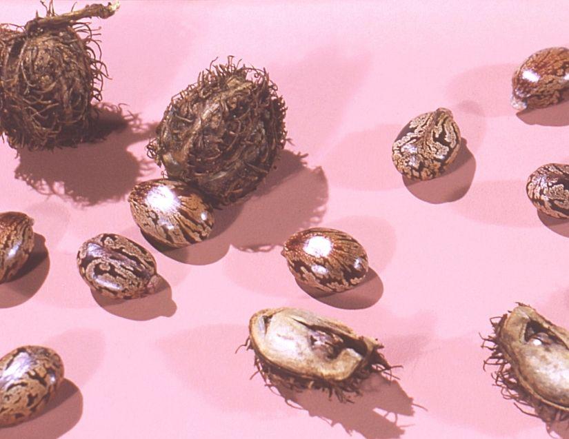 castor beans for castor oil packs