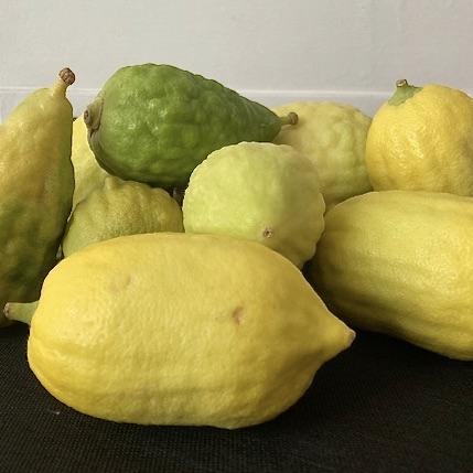 pile of esrogim, fresh lemon-like citrus fruit - one in the back of the pile is green